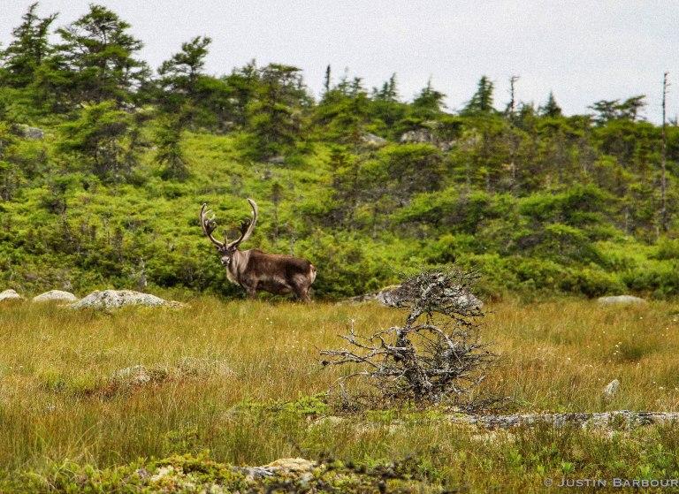 Caribou Stare Down.jpg